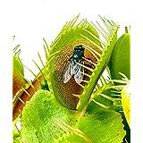 Acchiappamosche Venere/circa 50 semi/pianta carnivora/insetti catturati /
