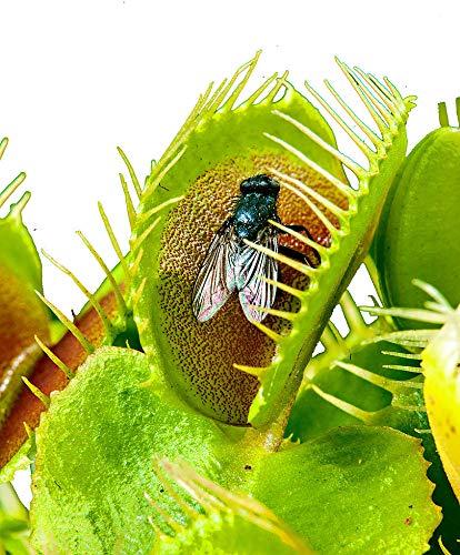 Venusfliegenfalle - Dionaea