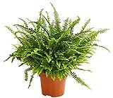 Dehner Schwertfarn Green Lady, stark gefiedert, ca. 50-55 cm, Zimmerpflanze