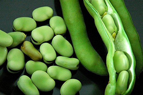 stereo-bush-broad-fava-bean-50-seeds-by-hirts-gardens