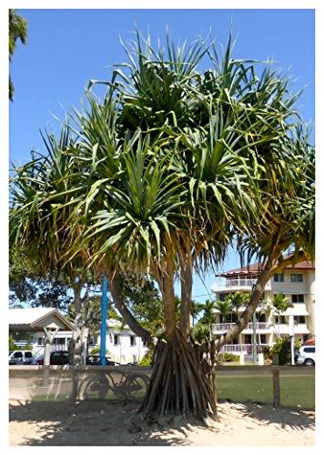 TROPICA - Pandanuss von Neu-Guinea (Pandanus papuanus syn. P. tectorius) - 1 Samen XXL