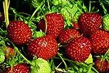 Erdbeere Senga Sengana, im Torftopf, 20 Stück