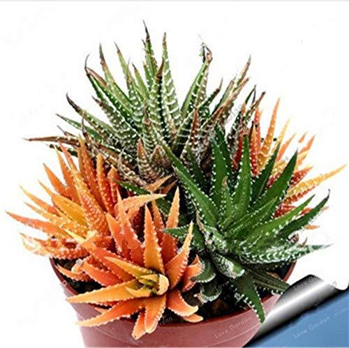 Bloom Green Co. Nouveau! 100 Pcs coloré Cactus Rebutia Variété Mix Exotique Floraison Cacti Rare Cactus Aloe Bureau Bonsai Plant Mini: 7 Succulent