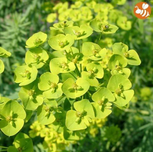 Qulista Samenhaus - 100pcs Rarität Goldwolfsmilch Steppen-Wolfsmilch für Bienen und Schmetterlinge, Grün und Gelb, Blumensamen winterhart mehrjährig bienenfreundlich