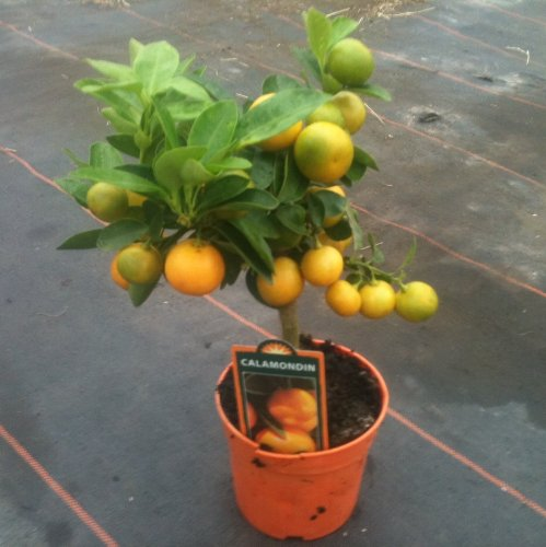 citrus-miniature-orange-bush-approx-25cm-tall-full-of-fruit-now-great-gift-idea