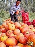 Seltene Bonsai Kürbiskerne Cucurbita Golddraht Kürbis Garten Gewächshaus Bio-Gemüsesamen Geeignet für Kochen 20 PC / Beutel 3
