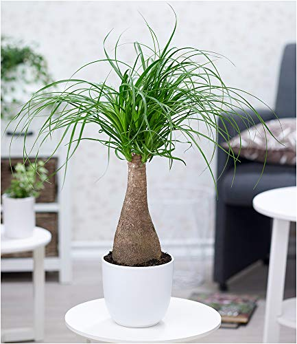 BALDUR-Garten Elefantenfuß im 17 cm Topf,1 Pflanze