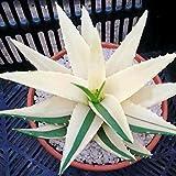 Kisshes Seeds- Semillas de Aloe Vera Semillas de Hierbas
