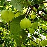Love in a Puff, Ballon-Plant Seeds - Ballonrebe