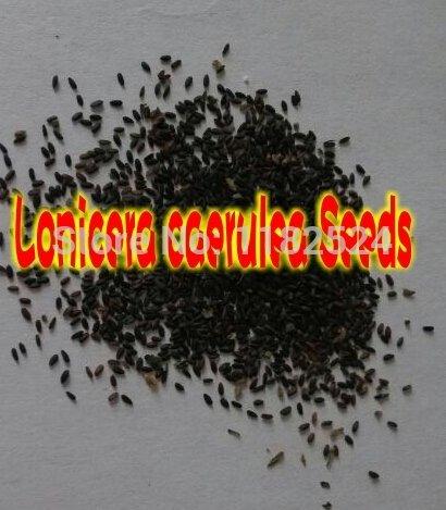 Héritage Physalis Alkekengi semences jaunes de la lanterne chinoise de vessie Cerise Fruits Grand, paquet original, 250graines, cerise d