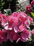 Bauernhortensie Alpenglühen 20-30 cm Strauch für Sonne-Halbschatten Heckenpflanze rosa-rot blühend Gartenpflanze winterhart 1 Pflanze im Topf