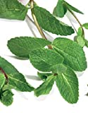 Just Seed Herb - Green Mint - Mentha viridis - 1000 seeds