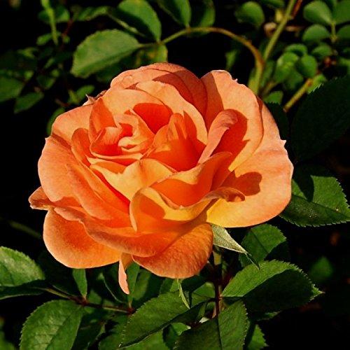 Rosarot Pflanzenversand p175