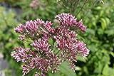 4er-Set - Eupatorium purpureum - purpurroter Wasserdost...