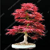 Shopmeeko 20 Ahornpflanzen Roter Ahornbaum Pflanzen Japanischer Ahorn-Bonsai Für Zuhause GARTEN Pflanzen Einfach Wachsen Selten Baumpflanzen Bonsai-Pflanzen: Burgund