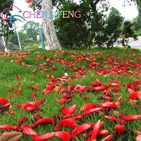 seme reale! 50pcs / lot Erythrina crista-galli,