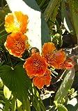 TROPICA - Kakteen Indischer Feigenkaktus ( Opuntia indica syn. Opuntia tunas ) - 20 Samen