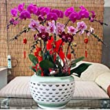 El envío libre 100 PC / paquete de semillas Semillas de jardín Bonsai único de la flor de la orquídea mariposa 12