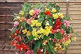 Generic Blumen Begonia Tuberous BELEUCHTET GEMISCHT F1 150 PELLETS Bulk