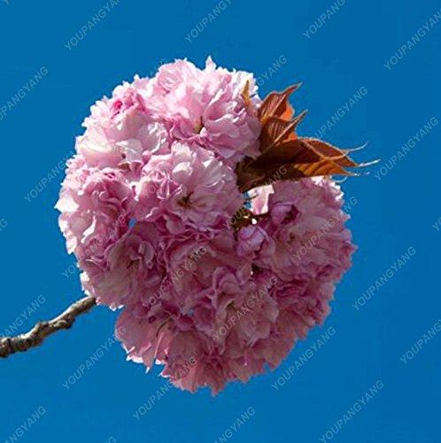 20 graines / paquet de graines de sakura japonais bonsaï ornement graines de cerisier fleur de fleurs de cerisier pour la maison et le jardin