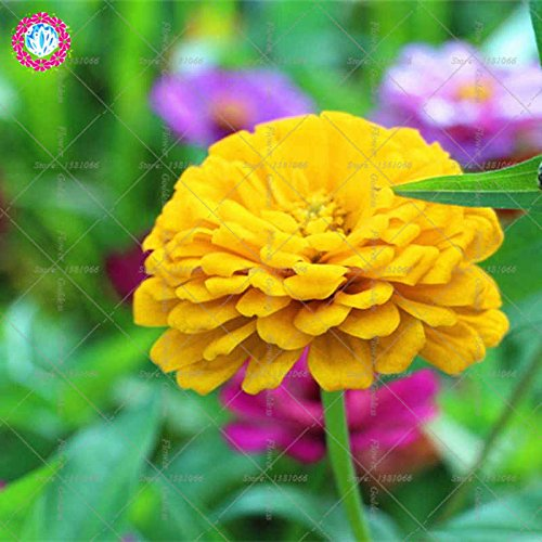 Véritable Zinnia elegans 50pcs Véritable fleur Bonsai Graines vivaces Facile Pour Cultivating balcon plantiation Garden Courtyard Potted 5