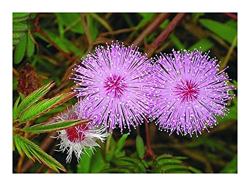 Mimosa pudica - Sensitive pudique - 20 graines
