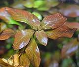 Ludwigia sp. 'Atlantis' - 1 Bunch - plante vivante pour aquarium