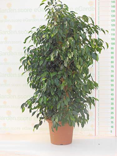 pianta vera da interno di ficus benjamin v25