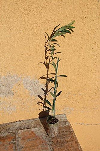 Olivo arbequino IRTA i-18 - Arbol frutal vivo