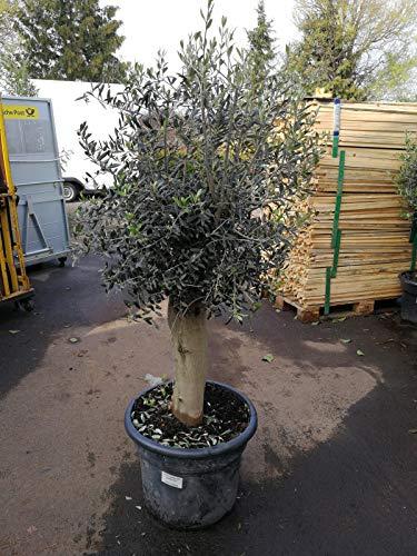 XXL Olivenbaum 40-45 Jahre alt - Olea Europea Hochstamm 200 cm Stammumfang 35 cm Formgehölz