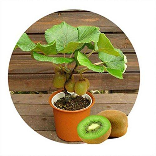 Lorsoul 100 piezas / bolsa Kiwi Frutas Semillas delicioso