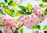 Idealdecor 133 Sakura Blossom, 366 x 254 cm