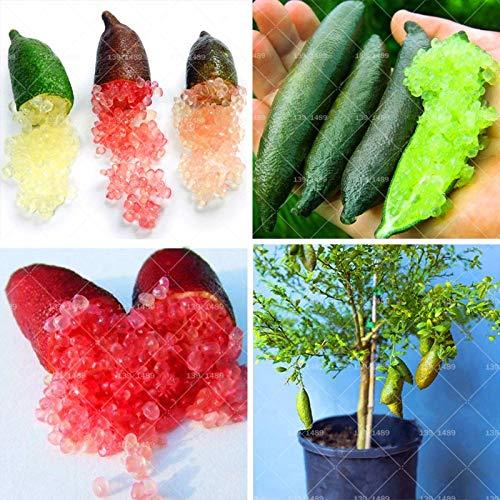 FARMERLY Samen Paket: 100pcs Seltene Bonsai Finger Kalk Obstbaum australasica Mini Obst neuartige Anlage zur Hausgarten Topfpflanzen: mix