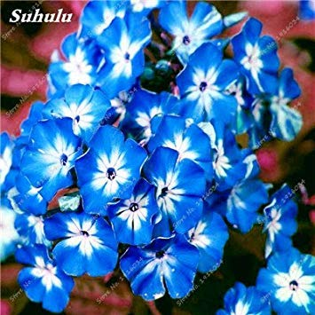 100 Pcs rares Nerium Graines Oleander Plantation Saisons de fleurs en pot Plantes culture facile Chine Graines Balcon Jardin Décoration 3