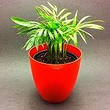 Siam Garden Bamboo Palm Chamaedorea seifrizii - Green Plant with Black Pot Indoor NASA Air Purifier Oxygen Plant