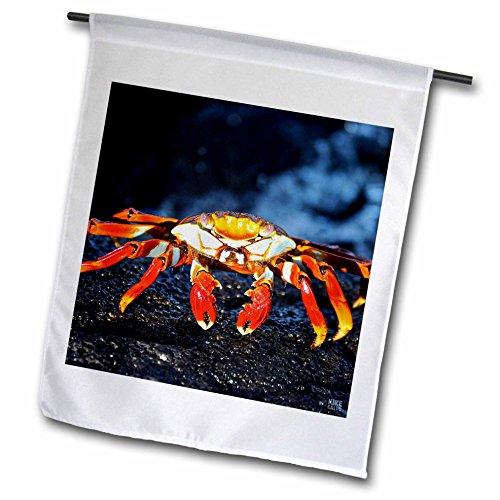 3dRose FL_10134_1 Sally Lightfoot Crab, Grapsus, Santiago Islaislandnd Galapagos Gartenflagge, 30,5 x 45,7 cm - Sally Lightfoot Crab