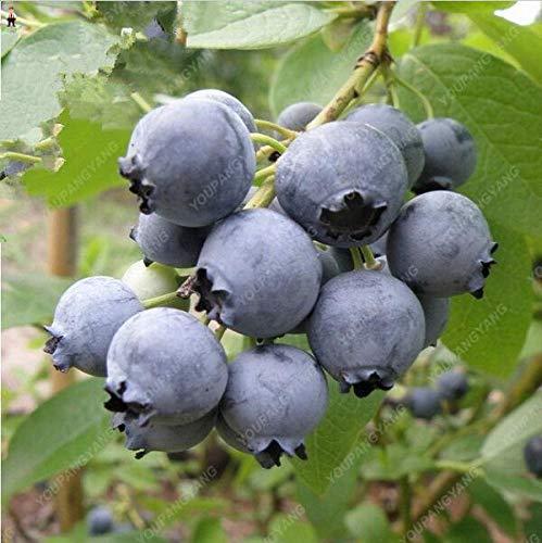 agrobits 100pcs blu bonsai frutta all'aperto albero highbush mirtilli fai da te countyard impianti per la casa & amp; garden facile da coltivare: nero
