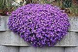 Blaukissen Violett 120 Samen, Aubrieta Violet