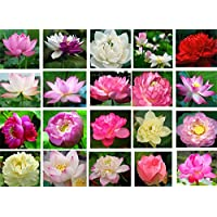 Bonsai Lotus Seeds, 30pcs Water Lily Flower Plant Seeds, Ornamental Courtyard Finest Viable Mixed Colors Water Aquatic Water Seeds, Home Garden Yard Farm Pond Decor