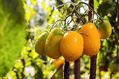 Ildi Tomate 10 Samen orange/gelb tomate Cherry Tomate - Orange Cherry-tomaten