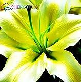 Green Seeds Co. Stargazer Lilien für 2016, in der Nähe der Gartenbank. Die Lilie blüht in Hochzeitsstrauß 100pcs /: Schwarz