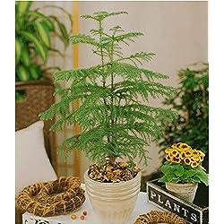 BALDUR-Garten Zimmertanne,1 Pflanze Araucaria heterophylla