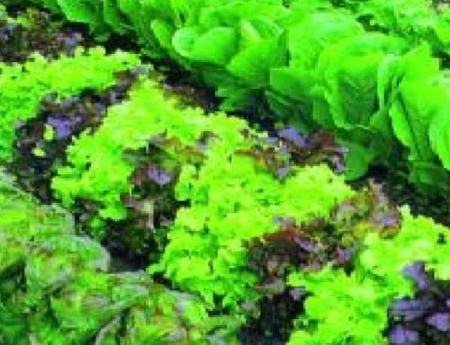 just-seed-lettuce-mixed-baby-leaf-300-seeds-economy-pack