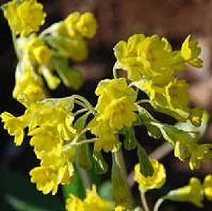Fiore - Primula veris - Hose in Hose Cowslip - 20 Semi