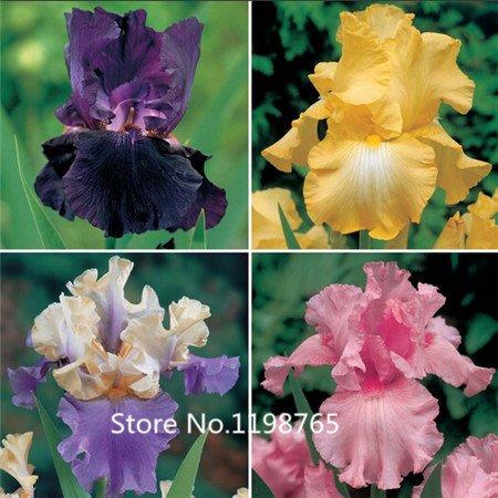2016 Hot Iris Graines Couleurs Gras Bearded Iris Collection Graines Colorful Graines de fleurs Paquet jardin de fleurs Plantes 100pcs