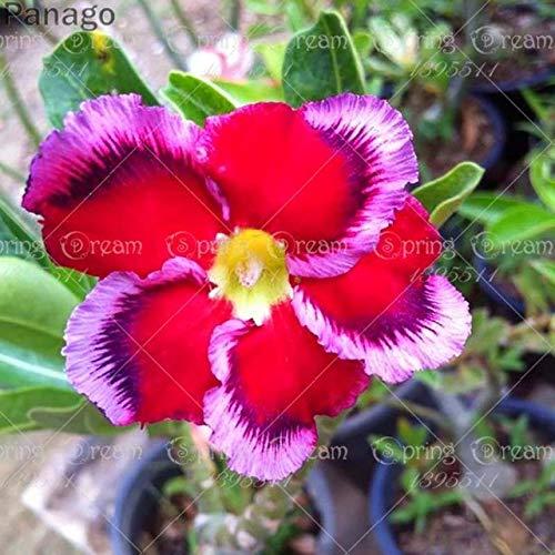 Pinkdose 2pcs Fiore rosa del deserto vero Adenium obesum bonsai fiore pianta piante grasse perenni piante in vaso al coperto per il giardino di casa: 13
