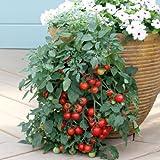 Tomate -TUMBLER- 10 Samen -Hängetomate-