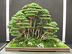 Imported Red Cedar Bonsai Tree Seeds - Sold by Vasuworld