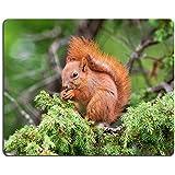 Luxlady ratón para Gaming imagen ID: 21571563ardilla roja SCIURUS VULGARIS sentado en un árbol de Juniper y alimentación de bayas