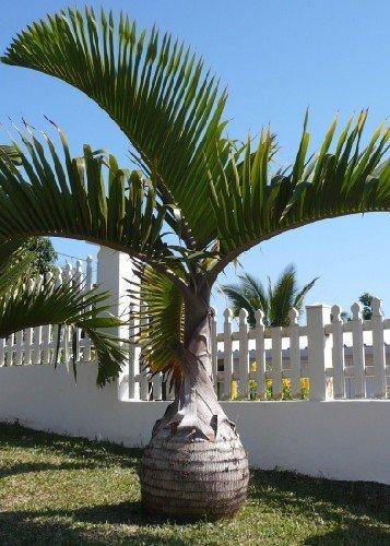 Tropica ? Flasche Palm (Flaschenpalme)?3Samen?Palmen
